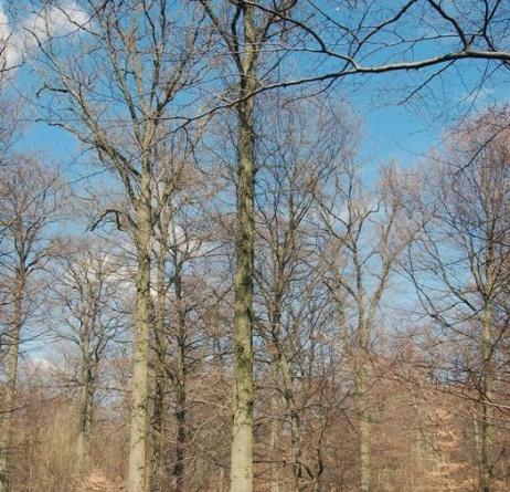 Fig. 4: Flott dansk eik og velegnet til kjøl. Høyde til første gren er 15 meter. (Foto: Thomas Finderup)