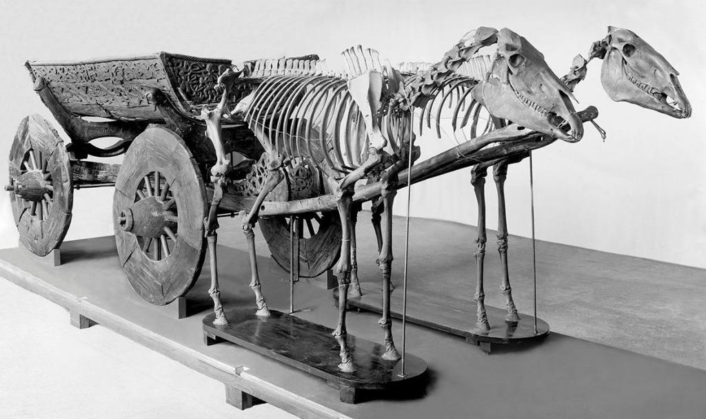 15 hester ble lagt i graven sammen med fire hunder og en okse. Til sammen representerte de stor verdi og bidro dermed til å underbygge de dødes høye status. (Foto: Kulturhistorisk Museum/UiO).